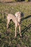 Weimaraner Standing Front Royalty Free Stock Photo