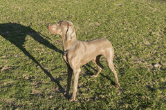 Weimaraner Standing Profile Royalty Free Stock Photo