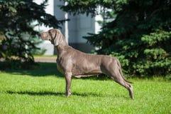 Weimaraner sull'esposizione canina Fotografia Stock