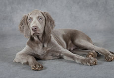 Weimaraner, three months old Royalty Free Stock Photography