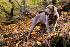 Weimaraner on top of the hill Stock Photography
