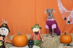 Weimaraner uppklädd för Halloween i studio Arkivfoton