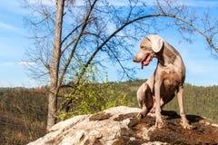 Weimaraner vaggar p? i skogjakthund p? jakten V?ren g?r till och med skogen med en hund Hund p? jakten royaltyfria bilder