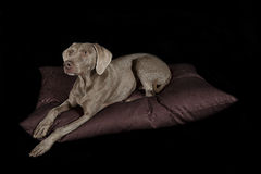 Weimaraner Royalty Free Stock Photography