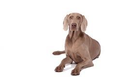 Weimaraner vrouwelijke hond Royalty-vrije Stock Fotografie