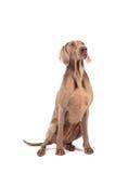 Weimaraner vrouwelijke hond Royalty-vrije Stock Afbeelding
