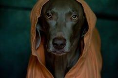 Weimaraner wearing an orange coat Royalty Free Stock Photos