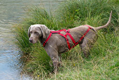 Weimaraner wearing a red harness Royalty Free Stock Image