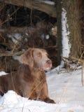 Weimaranerhond in de winter bij het liggen op de de wintergrond Stock Foto