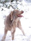 Weimaranerhond in de winter op gang Stock Fotografie