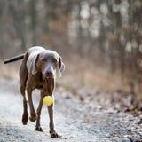 Weimaranerhond met een bal Stock Fotografie
