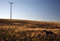 Weimaranerhond op een gebied Stock Afbeeldingen