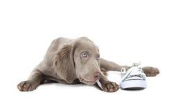 Weimaranerpuppy die het kant van een schoen kauwen die, op wit wordt geïsoleerd Stock Foto's
