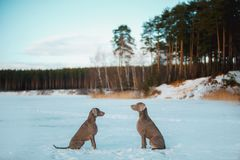 Two Weimaraners are sitting against each other in a forest clearing in winter stock photography