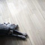 Weimaranerslaap op houten vloer Royalty-vrije Stock Afbeeldingen