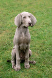 Weimartaner Short Haired Pointing Dog Stock Photography