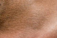 weimeraner волос Стоковые Изображения RF
