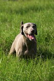 Weimeraner dog in long green grass Royalty Free Stock Images