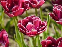 Wein-farbige Tulpen Stockbild