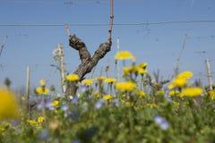 Wein im Frühjahr nach Beschneidung stockbild