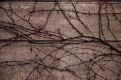 Wein oder Kriechpflanze auf altem Wandgebäude des Schmutzzementes für ho stockbild