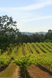 Wein-Weinberg Kalifornien Stockfotos