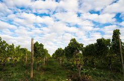 Wein-Yard Lizenzfreie Stockfotografie