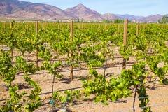 Weinanbaugebiet, Baja, Ensenada, Mexiko lizenzfreie stockfotos
