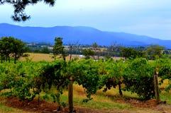 Weinanbaugebiet in Melbourne Stockbilder