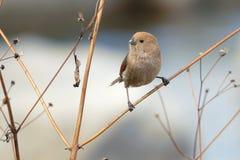 Weinartig-throated Parrotbill Stockbilder