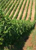 Weinbau Stockfoto