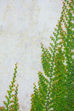 Weinbau auf einer Backsteinmauer Stockfotografie