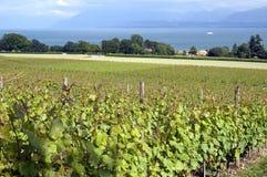 Weinbau auf Genfersee, die Schweiz Stockbild