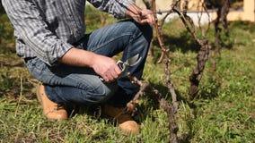 Weinbauer arbeitet an Beschneidung den Weinberg landwirtschaft stock video