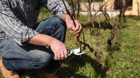 Weinbauer arbeitet an Beschneidung den Weinberg landwirtschaft stock footage