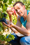 Weinbauersammelntrauben zur Erntezeit Stockfotografie