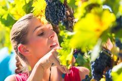 Weinbauersammelntrauben zur Erntezeit Stockfotos