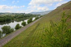 Weinberg auf dem Abhang von Mosel-Fluss Lizenzfreies Stockfoto