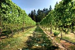 Weinberg auf der Westküste von Kanada Stockbild