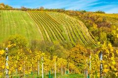 Weinberg auf einem Hügel im Herbst Stockfotografie