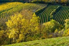 Weinberg auf einem Hügel im Herbst Stockfotos