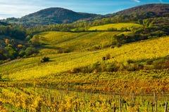 Weinberg auf einem Hügel im Herbst Stockbilder