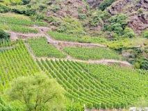Weinberg auf grünen Hügeln in Mosel-Tal Stockfotografie