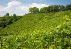 Weinberg auf Hügel in Nordrhein-Westfalen, Deutschland Stockfoto