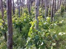 Weinberg auf Kastanienpfosten lizenzfreie stockfotos