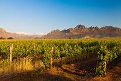 Weinberg in den Hügeln von Südafrika Stockfotos