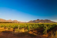 Weinberg in den Hügeln von Südafrika Stockfotografie