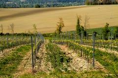 Weinberg in der italienischen Landschaft Marken Stockbild