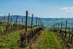 Weinberg in der italienischen Landschaft Marken Stockfotografie