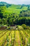 Weinberg in der italienischen Landschaft Marken Stockbilder